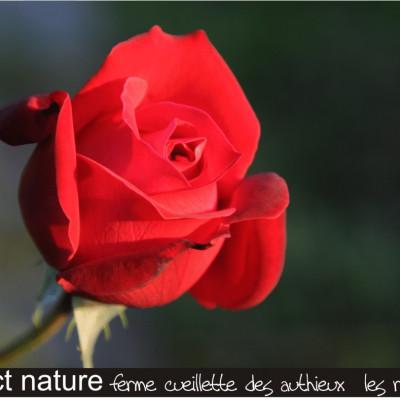 ferme cueillette des authieux cueillir des fleurs les roses