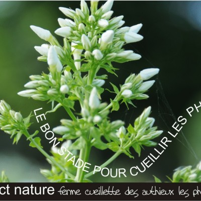 ferme cueillette des authieux cueillir des fleurs  les Phlox