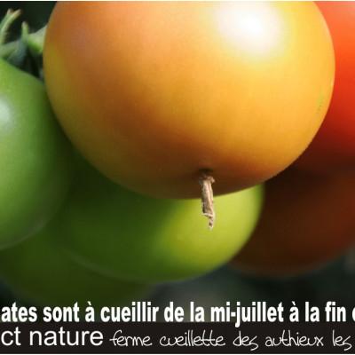 cueillette des tomates à la ferme des authieux