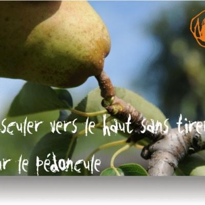 comment cueillir des poires le» bon geste» ferme cueillette des authieux
