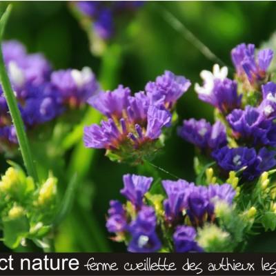 cueillir des fleurs à sécher les statices et les immortelles ferme cueillette des authieux