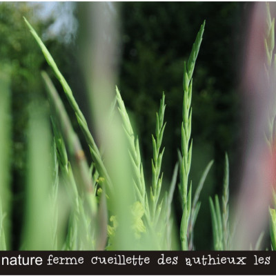 cueillir des fleurs à la ferme des authieux les GLAIEULS ,champ de glaieuls
