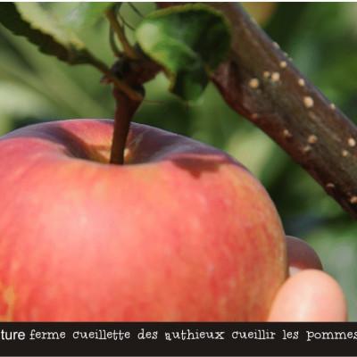 cueillir des pommes dans les vergers de la ferme cueillette des authieux