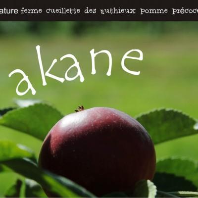 cueillir les akane pommes précoces ferme cueillette des authieux