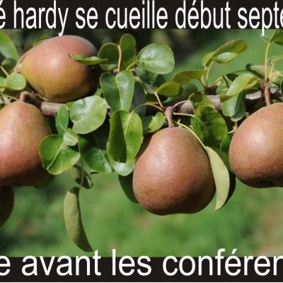 Cueillir les poires Beurré Hardy ferme des authieux