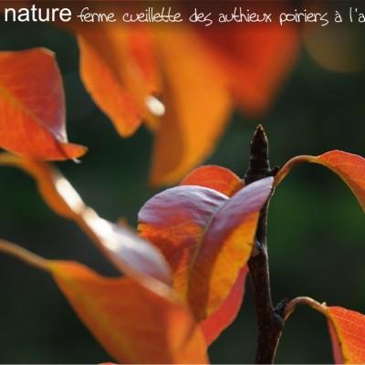 ferme cueillette des authieux les poiriers à l'automne