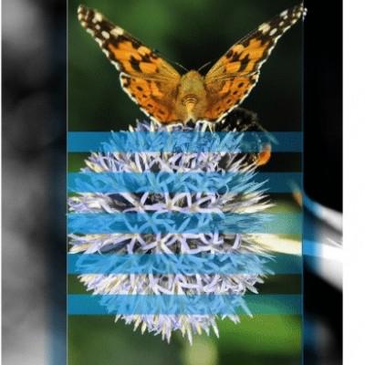 papillon sur fleur de chardon graphisme ferme des authieux