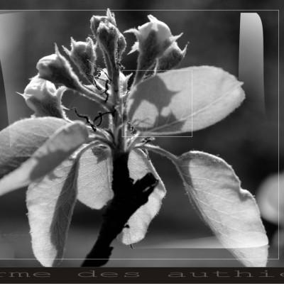 poiriers en fleur photo noir et blanc ; ferme cueillette des authieux