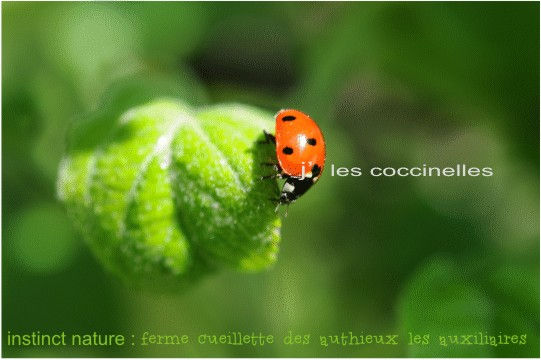 lescoccinellesinsectesauxiliairesfermedesauthieux.jpg