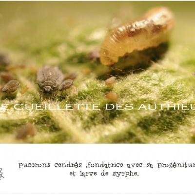 larve de syrphe et fondatrice de pucerons cendrés ferme des authieux lutte bio