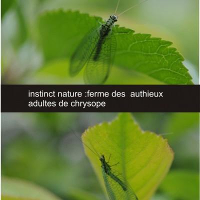 ferme cueillette des authieux les chrysopes oeufs ,larves,adultes .Insectes auxiliaires