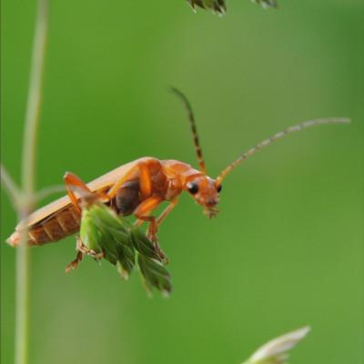 Les insectes ferme cueillette des authieux Cantharis rustica