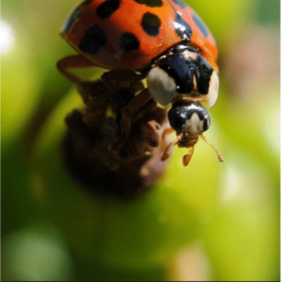 Les insectes auxiliaires en agriculture ferme cueillette des authieux les coccinelles