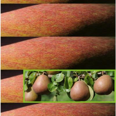 Beurré Hardy / une des poires du verger de la ferme des Authieux