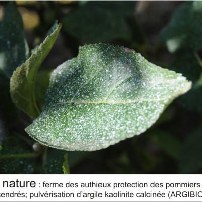 lutte biologique contre le puceron cendré à l'automne pulvérisation d'argile kaolinite calcinée (ARGI BIO)