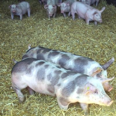 Les cochonnailles du Haut Bois : élevage de porcs et fabrication de charcuterie , disponible au marché de la ferme des authieux