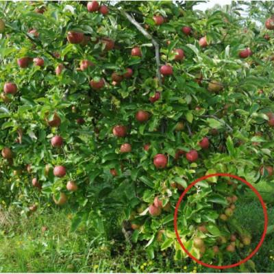 lutte écologique contre les pucerons cendrés des pommiers ferme cueillette des authieux