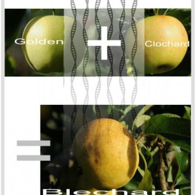 Une Star fabriquée de toute pièce;Belchard: croisement de Golden et Clochard ferme cueillette des authieux