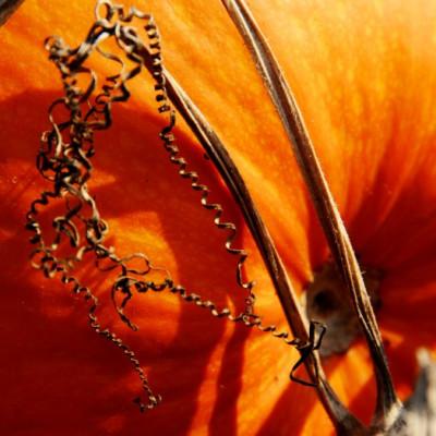 les potirons de la ferme cueillette des authieux soleil d'automne