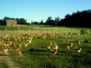 Les volailles prédécoupées de la ferme de la Tuilerie disponibles maintenant à la ferme des Authieux dans A C T U A L I T E S volailles-tuilerie-300x225