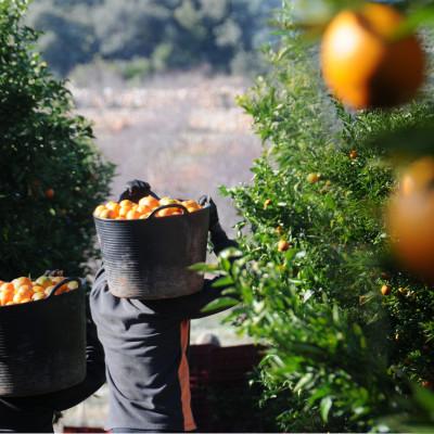 Pourquoi s'approvisionner en oranges fraîches du Portugal à la ferme des authieux ?